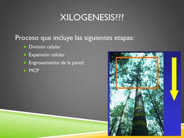 Xilogenesis???