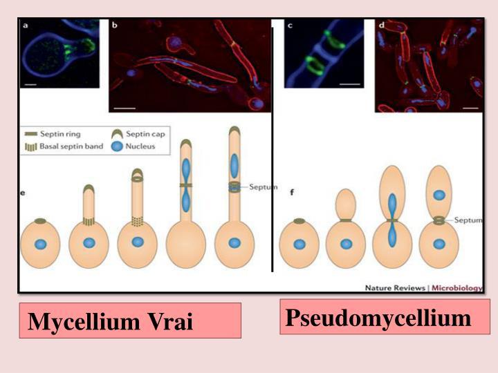 Pseudomycellium