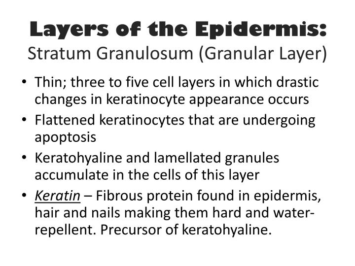 Layers of the Epidermis: