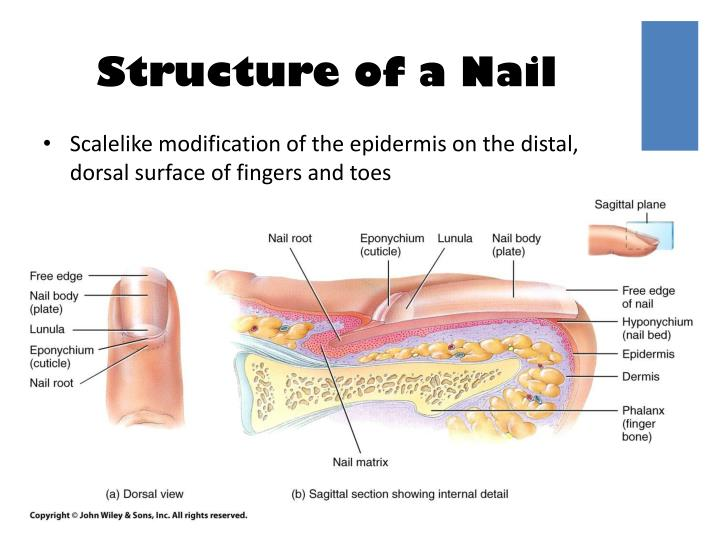 Structure of a Nail