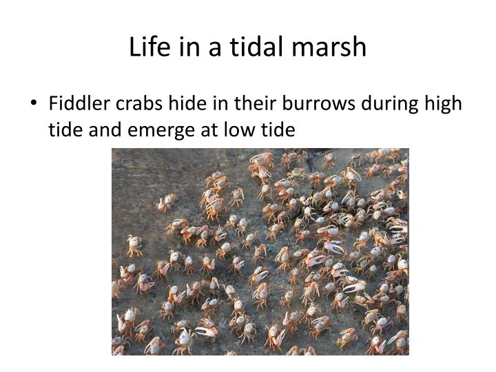 Life in a tidal marsh
