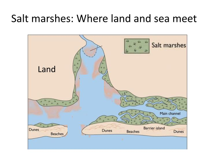 Salt marshes: Where land and sea meet