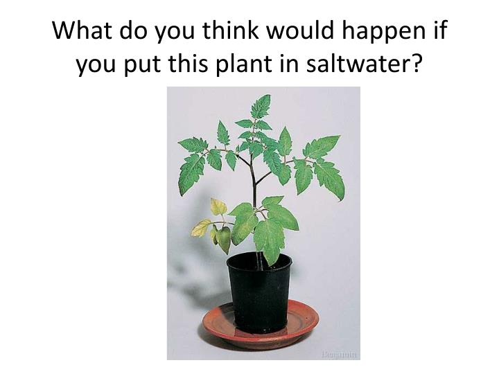 What do you think would happen if you put this plant in saltwater?