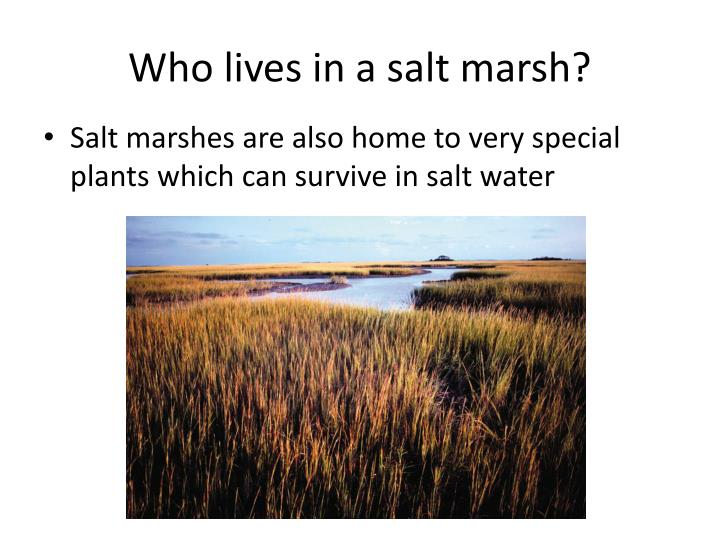 Who lives in a salt marsh?
