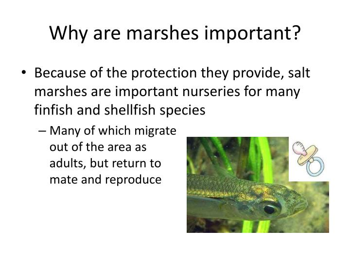 Why are marshes important?