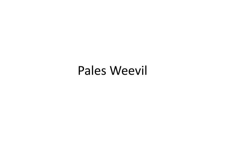 Pales Weevil