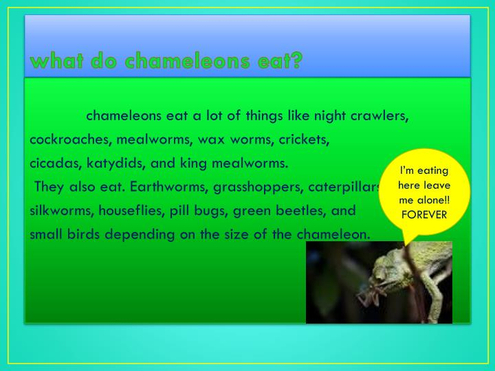 what do chameleons eat?