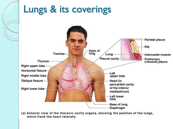 Lungs & its coverings