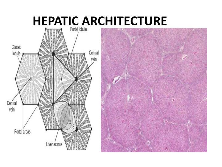HEPATIC ARCHITECTURE
