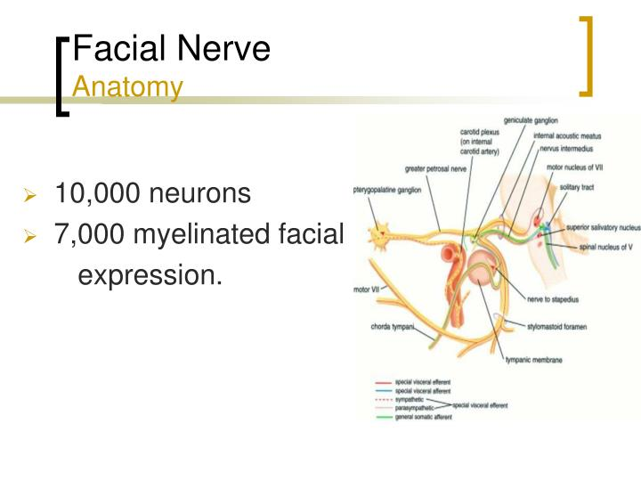Facial Nerve Anatomy Ppt 9799311 1cashingfo