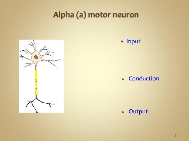 Alpha (a) motor neuron