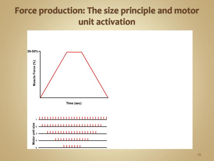 Force production: The size