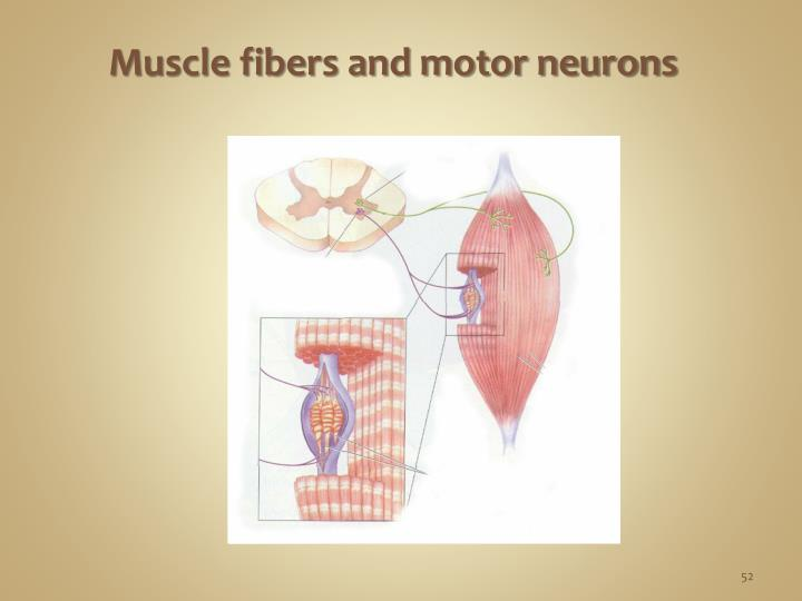 Muscle fibers and motor neurons