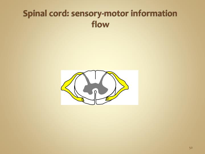 Spinal cord: sensory-motor information flow