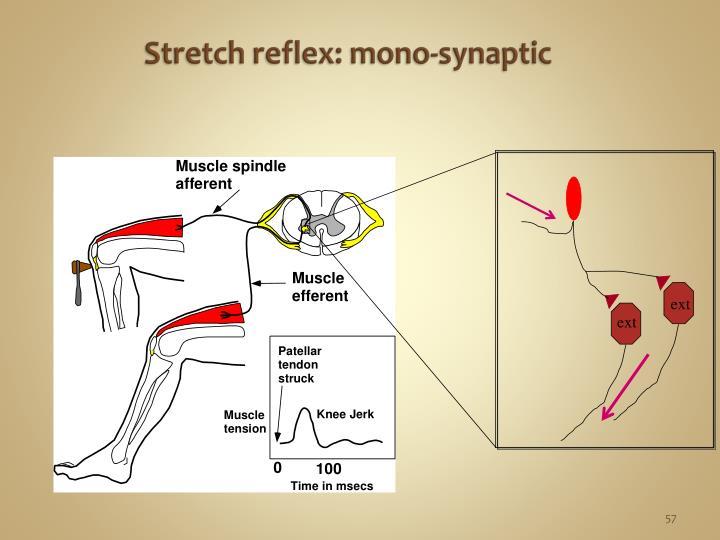 Stretch reflex: mono-synaptic