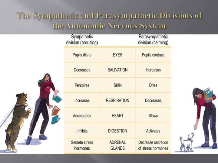 The Sympathetic and Parasympathetic Divisions of the Autonomic Nervous System