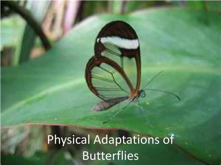 Physical adaptations of butterflies