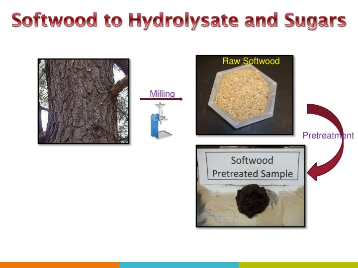 Softwood to Hydrolysate and Sugars