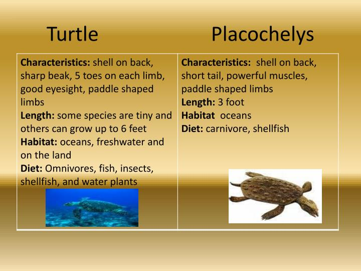 Turtle			    Placochelys