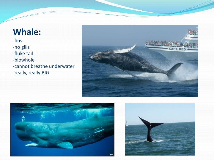 Whale: