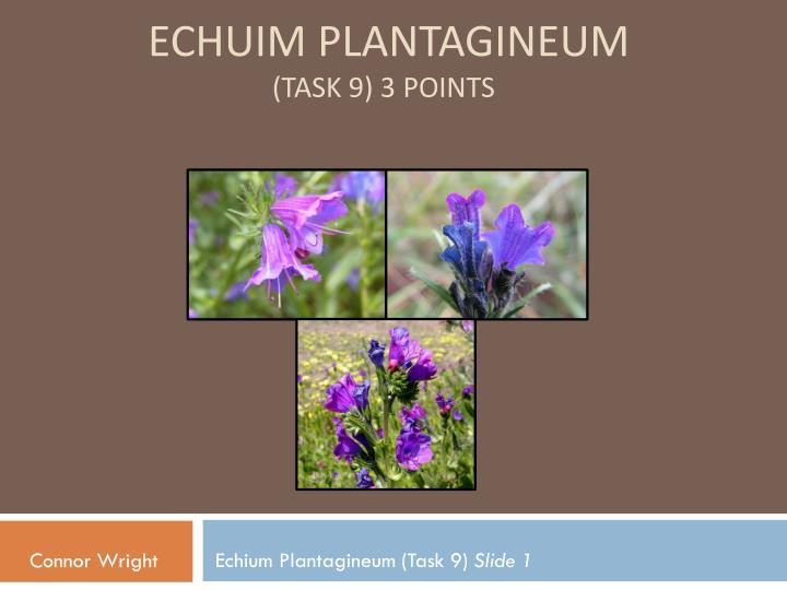 Echuim Plantagineum