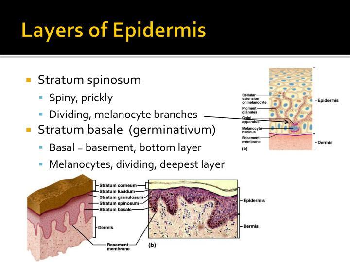 Layers of Epidermis