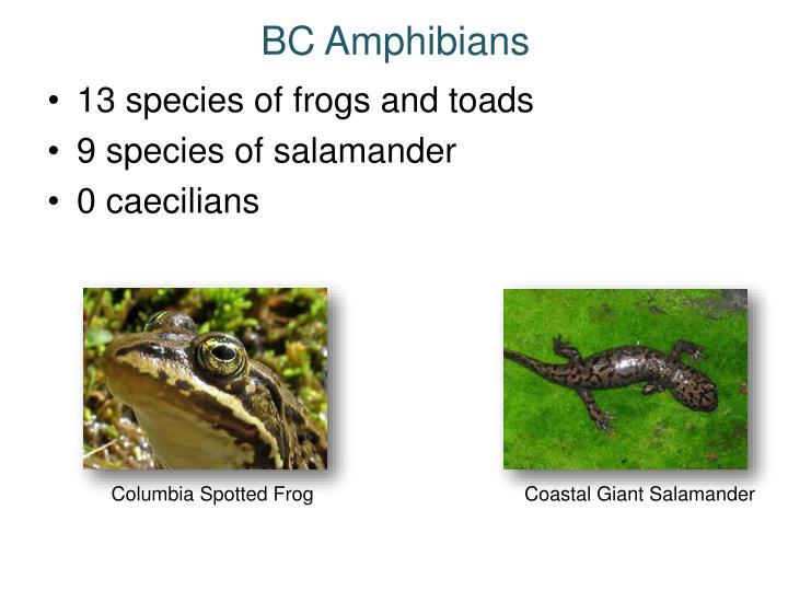 BC Amphibians