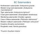 bc salamanders