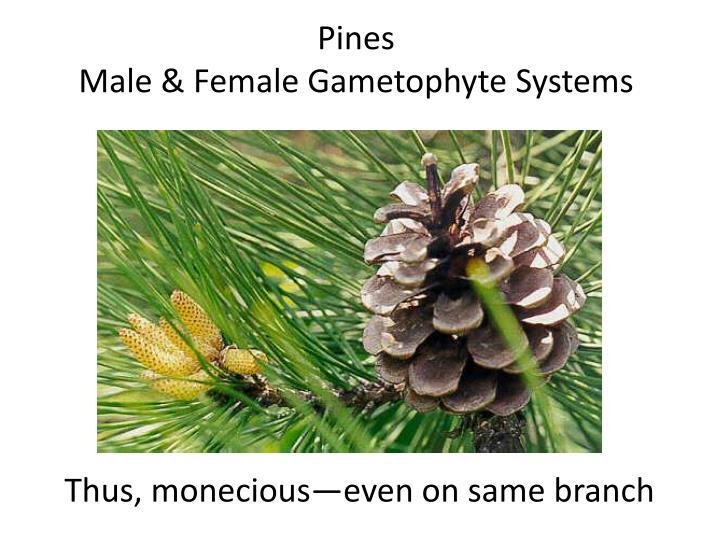 Pines