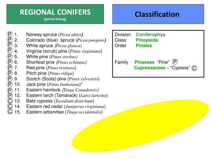 REGIONAL CONIFERS