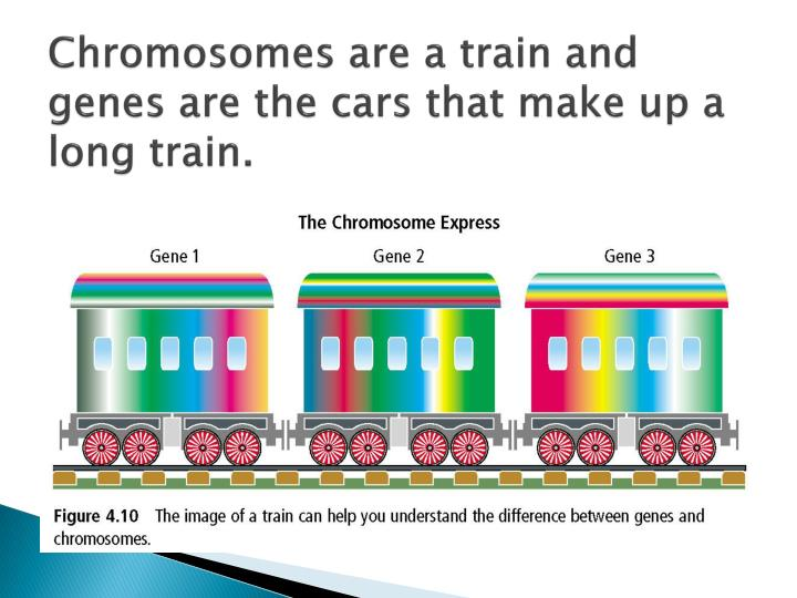 Chromosomes are a train and genes are the cars that make up a long train.