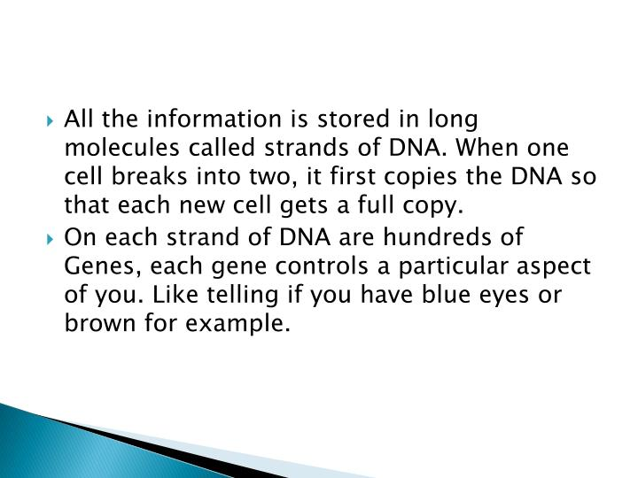 All the information is stored in long molecules called strands of DNA. When one cell breaks into two, it first copies the DNA so that each new cell gets a full copy.