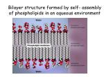 bilayer structure formed by self assembly of phospholipids in an aqueous environment