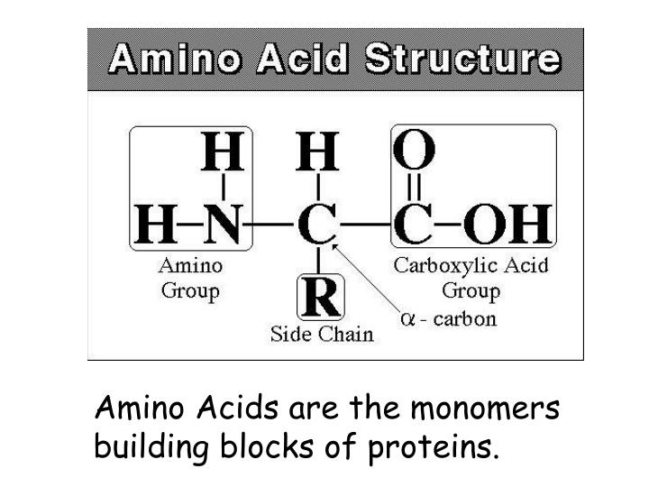 Amino Acids are the monomers  building blocks of proteins.