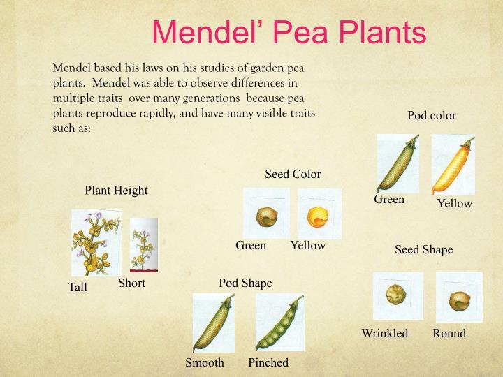Mendel' Pea Plants
