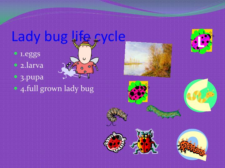 Lady bug life cycle