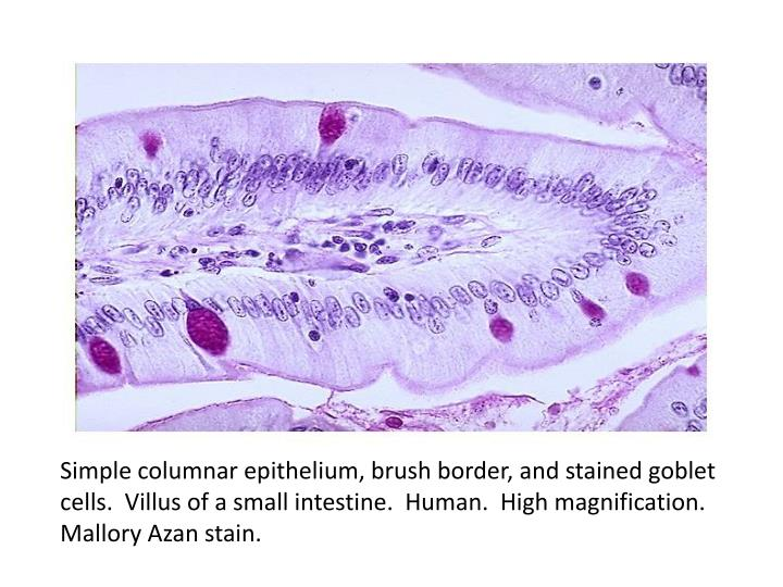 Simple columnar epithelium, brush border, and stained goblet