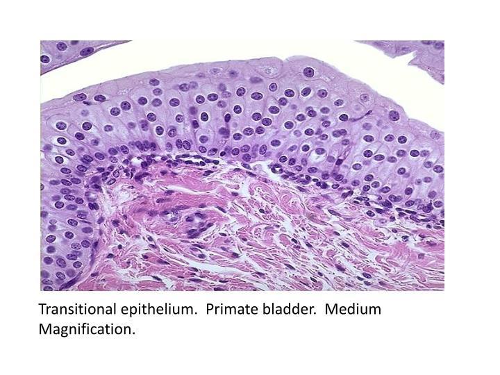 Transitional epithelium.  Primate bladder.  Medium