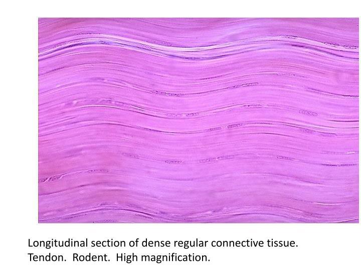 Longitudinal section of dense regular connective tissue.