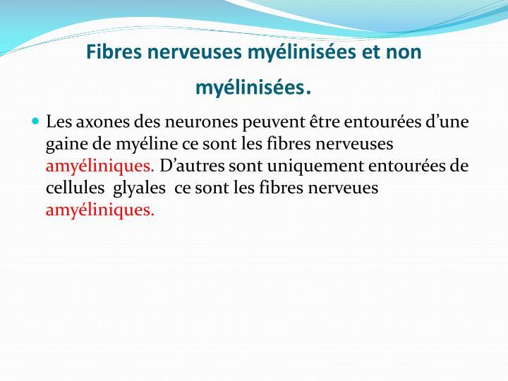 Fibres nerveuses myélinisées et non      myélinisées