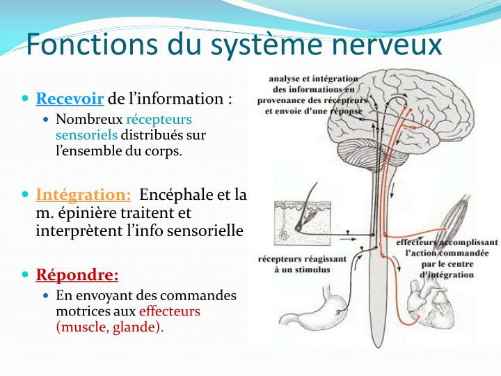 Fonctions du système nerveux