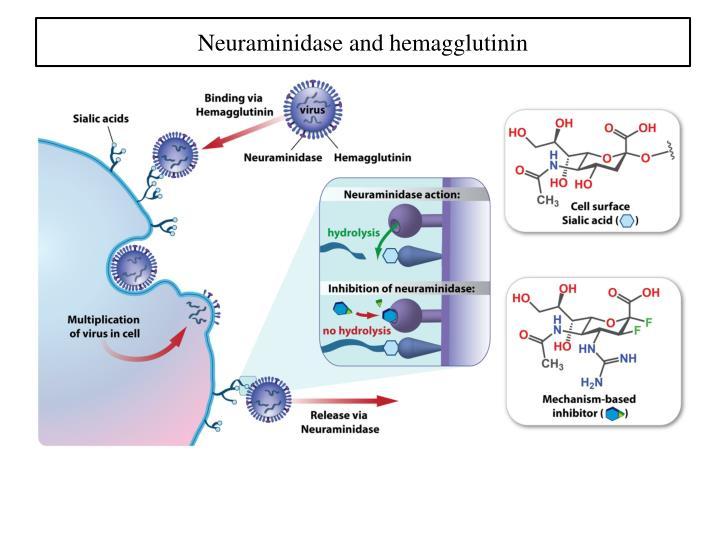 Neuraminidase and