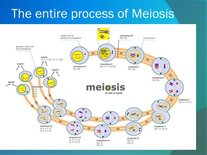 The entire process of Meiosis