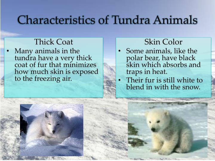 Characteristics of Tundra Animals