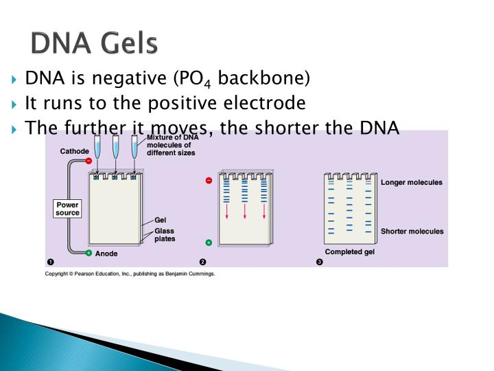 DNA is negative (PO