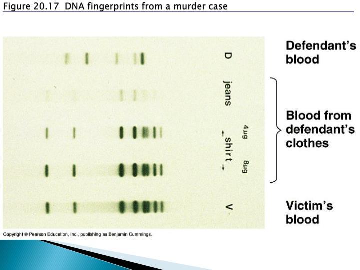 Figure 20.17  DNA fingerprints from a murder case