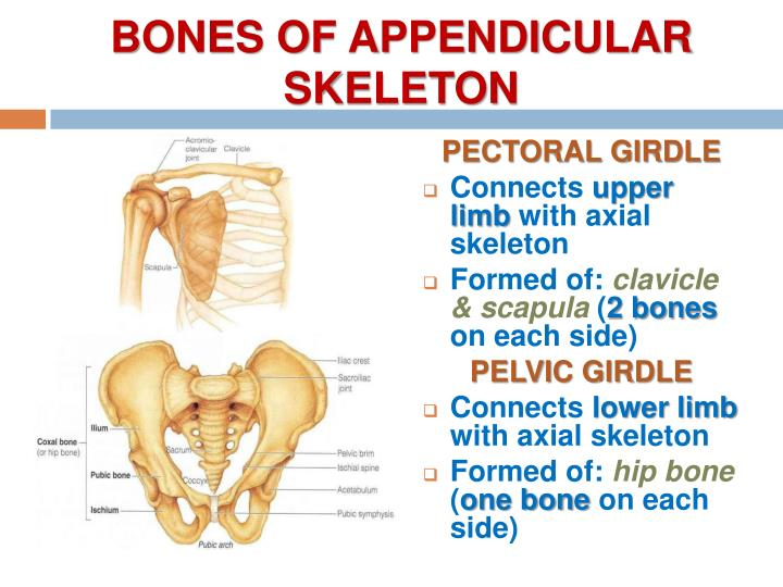 BONES OF APPENDICULAR SKELETON
