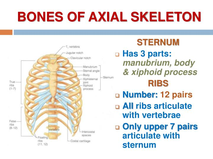BONES OF AXIAL SKELETON