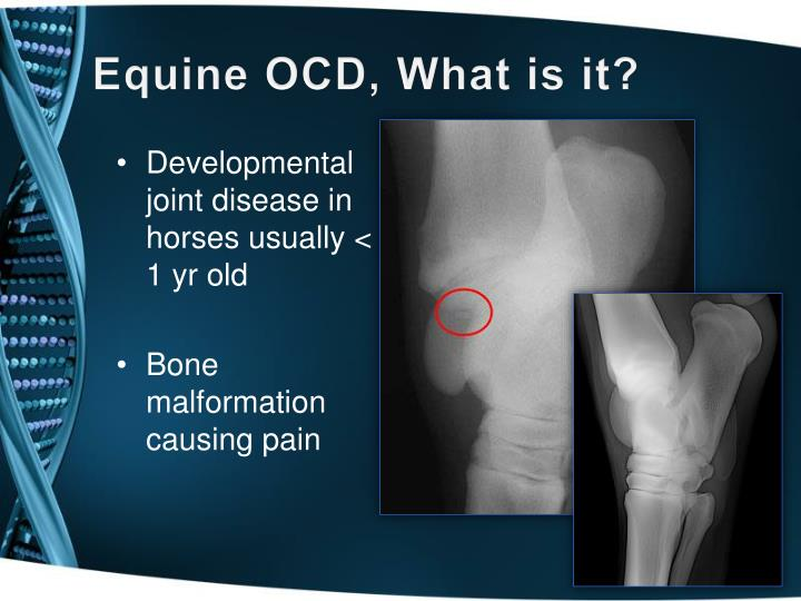 Equine OCD, What is it?