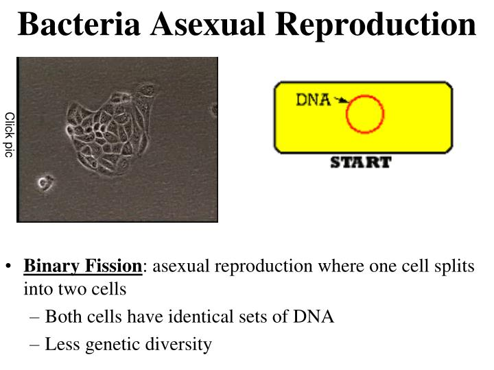 Bacteria Asexual Reproduction